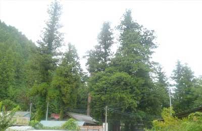 藤岡市天然記念物の大杉